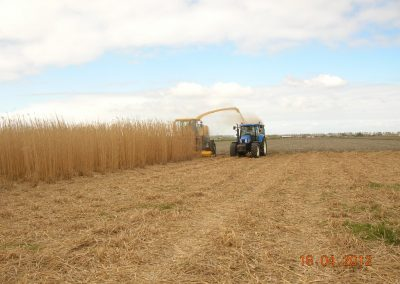 Oogstmiscanthus